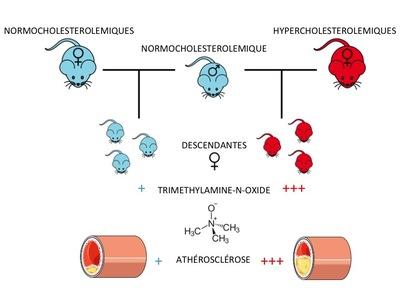 Les femelles souris descendantes de mères hypercholestérolémiques ont des niveaux de triméthylamine-N-oxide plus élevés et présentent un risque plus élevé de développement de l'athérosclérose. © Inra.